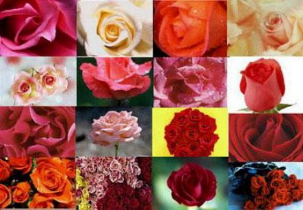 all-roses.jpg