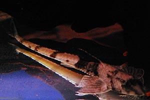 タイガーロリカリアa