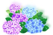 azisai_6.jpg