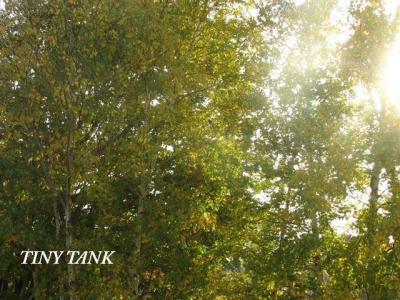 10月17日白樺の木から