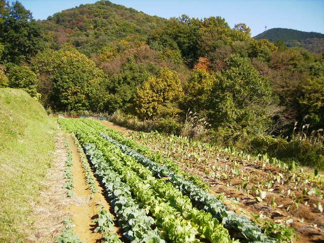 野菜畑164