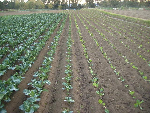 きゃべつとブロッコリー畑14