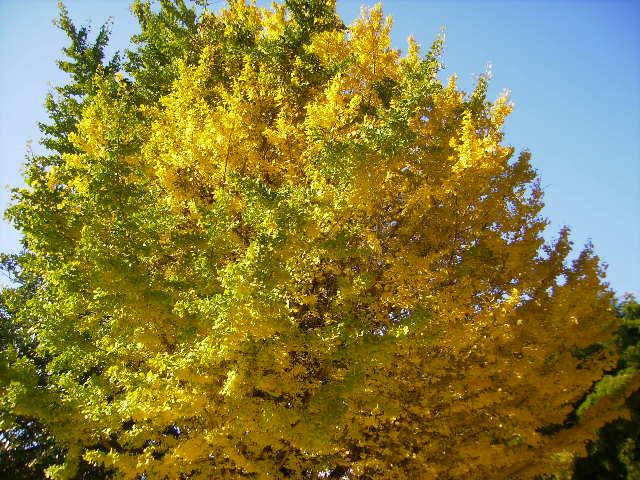 いちょうの黄葉40