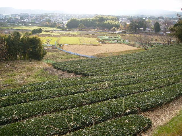 茶畑と田んぼ61