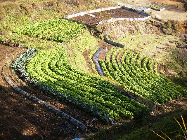 緑の野菜畑61
