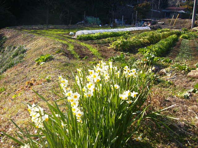 水仙と野菜畑168
