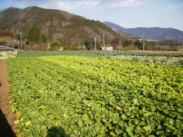 野菜畑118