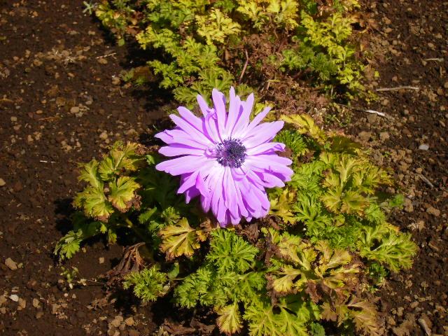 紫の花001