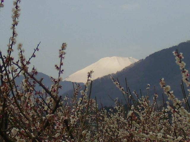 梅と白富士26
