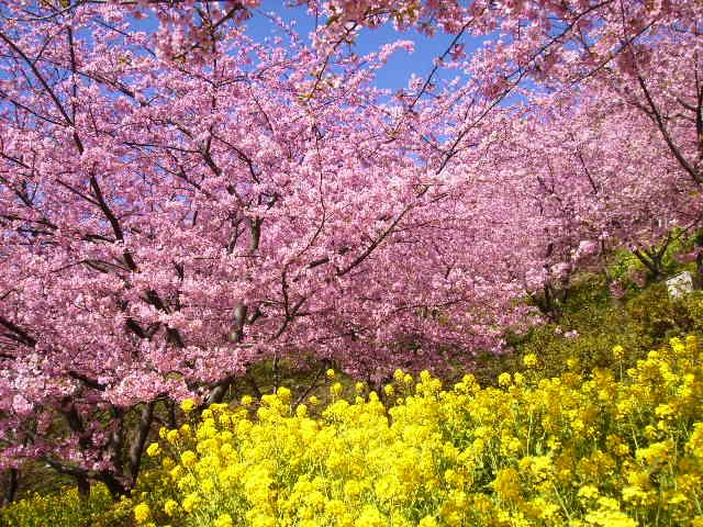 菜の花と桜51