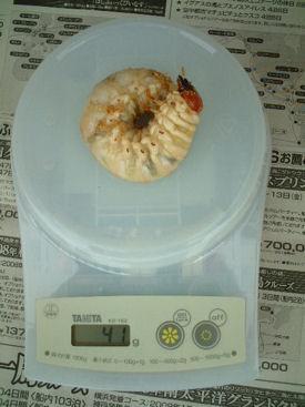 インドグランSB-09幼虫