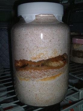 インドグランBL-03前蛹