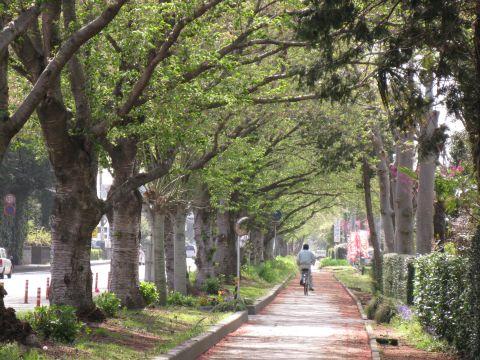 堅倉の桜並木