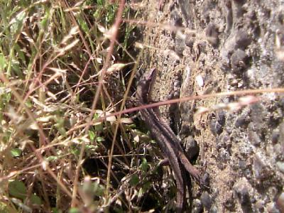 0425カナヘビ