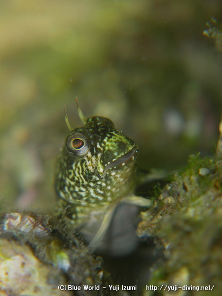 イソギンポの幼魚