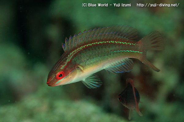 イトヒキベラの幼魚