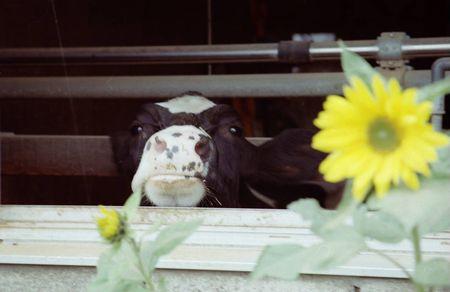 牛とひまわり