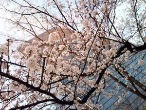 sakurakurakurasakurakura.jpg