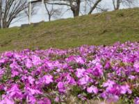 100321_芝桜From相模川