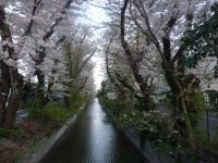 千本桜…ではない