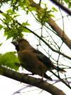 100503Howfinch