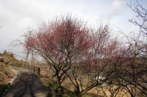 津山市梅の里公園久米神代梅開花状況