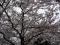 110409桜01