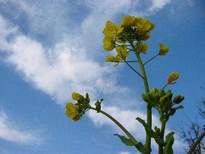 菜の花02