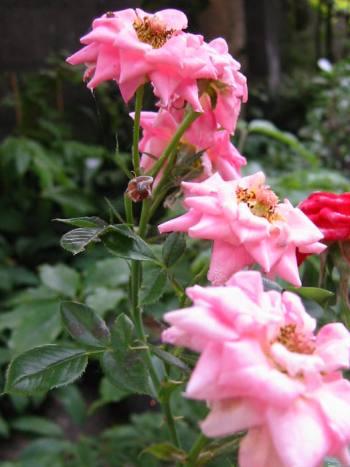 rose1006-2.jpg