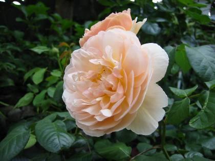 rose1006.jpg