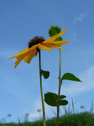黄色い花と青い空