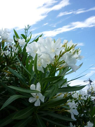 白い花と青い空