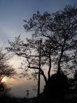 夕暮れの枝垂れさくら