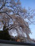 瑞林寺の枝垂れさくら