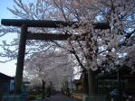 美濃加茂市 山門から桜並木