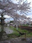 さくらと電車(高山線)