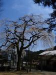 津島神社内からみた天王さくら