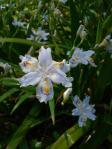 シャガの花がきれい