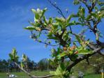 まだつぼみりんごの花