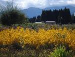 この黄色の花一面に 花を添えてる!