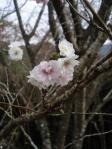 四季桜。。なんともいえない愛らしさ