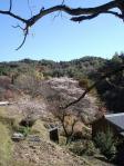 春?四季桜の里。。