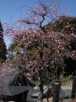 毎年見るけどこれがすき!大縣神社の枝垂れ梅