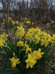 昭和村の咲き始めたばかりのころの5寸スイセン