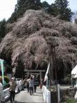 咲き始めたばかりの天王桜