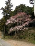 58号線 いい形の桜