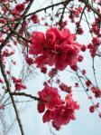 花桃の花?すごく大きくてかわいい