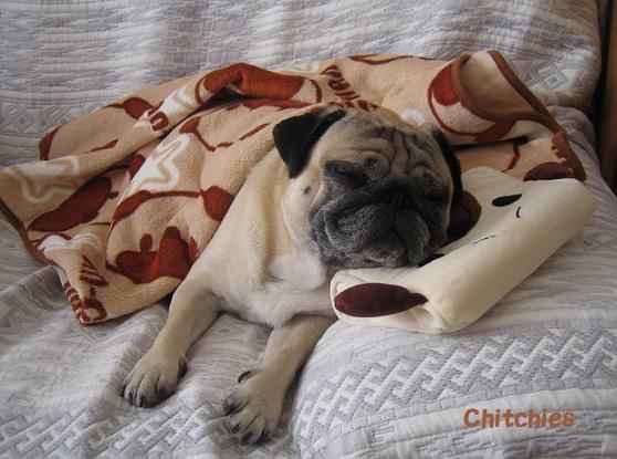 パグ枕にパグ毛布でマジ寝するチッチ君