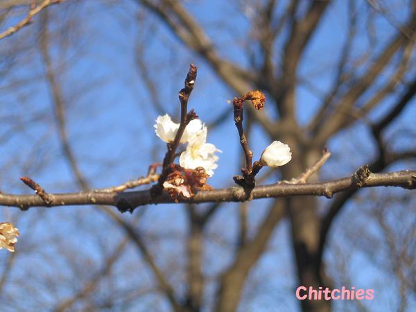 あう~、梅が咲きましたーーーっ