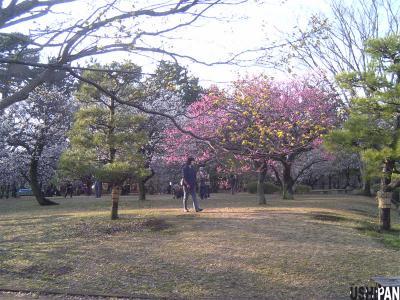 小金井公園の梅1